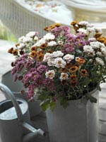 Krysantemum, Chrysanthemum