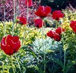 Papaver orint. 'Beauty of Livermore'