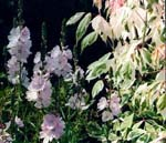 Sidalcea 'Elsie Heugh' och Acer 'Flamingo'