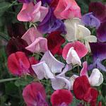 Lathyrus odoratus 'Heirloom Bicolour Mix', luktärt