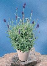 Lavandula angustifolia, lavendel