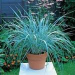 """Leymus arenarius, """"blått gräs"""""""