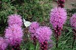 Liastris spicata