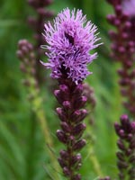 Rosenstav, Liatris spicata