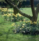Påskliljor och narcisser trivs i halvskuggan under det gamla äppelträdet