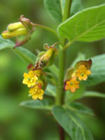 Lonicera involucrata, skärmtry, blommor
