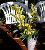 Lupinväppling, rävböna, Thermopsis montana
