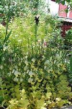 Lysimachia nummullaria 'Gold', penningblad