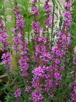 Lythrum salicaria 'Dropmore Purple'