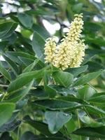 Maackia chinensis, blommor