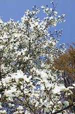 Japansk magnolia, Magnolia kobus