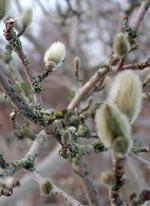 Magnoliaknopparna väntar på våren