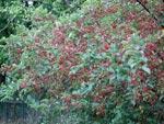 Malus 'Red Jewel'