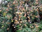 M. prunifolia