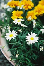 Margerit (Argyranthemum)