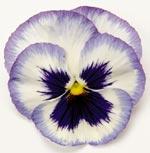 Viola Matrix, 'Blue Frost'