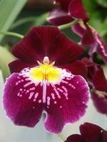 Miltoniopsis-hybrid, penséorkidé