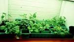 Ett inneväxthus är ett bra hjälpmedel för förkultivering.