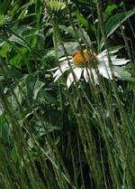 Molinia caerulea 'Overdam'