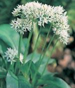Ramslök, Allium ursinum