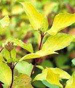 Rysk kornell, gulbladig, Cornus alba 'Aurea'