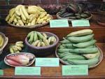 På bilden ses förutom bananblommor, även äpplebanan, mjölbanan, uppe till vänster ekologiskt odlade, mindre bananer och röda bananer.