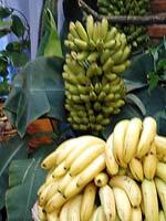 En bananplanta i vilken några klasar omogna bananer hänger