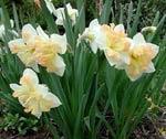 Narcissus 'Eastern Bonnet', en ganska ny sort med aprikosrosa, flikig krona.