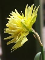 Narcissus minor var. pumilus 'Rip van Winkle'