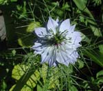 Nigella damascena 'Miss Jekyll'