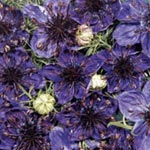 Nigella papillosa 'Midnight Blue'