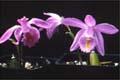 Aahhh, de mest underbara orkidéer bara står där i skyltfönstret.