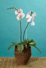 Brudorkidé (Phalaenopsis-hybrider)