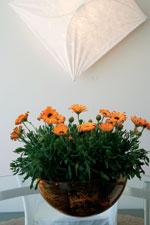 Stjärnöga, Osteospermum Sunny