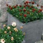 Stjärnöga, Osteospermum trivs bäst på en solig plats.
