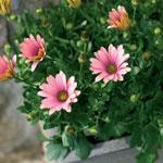 Osteospermum hybrid
