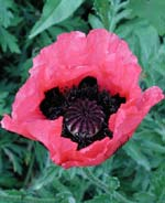 Papaver 'Rasberry Queen'