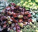 Heuchera micrantha 'Palace Purple', Rödbladig alunrot