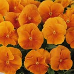 Panola Orange