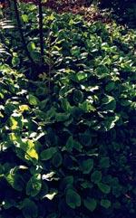 Parksallat, Cicerbita macrophylla