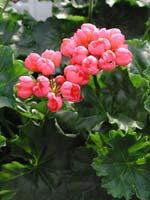 Pelargonium 'Pink Pandora'