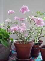 Vackra, skira rosa pelargoner, här i vanliga, väl använda terracotta-krukor, placerade på en bricka.