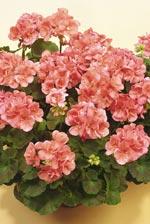 Pelargon 'Gatwig'. Upprättväxande pelargon som passar för plantering i krukor, balkonglådor och rabatter.