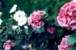 Pelargonen, en ros bland favoritblommorna