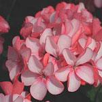 Pelargonium x hortorum 'Horizon Pink Meteor' F1, pelargon