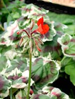 Pelargonium 'Miss Bourdette Coutte'