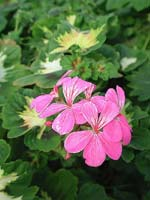 Pelargonium 'Pink Happy Thought'