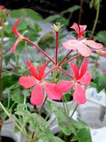 Pelargonium 'Red Demon'