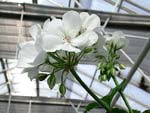 Pelargonium 'Simplicity'