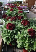 Pelargonium 'Springfield Black'